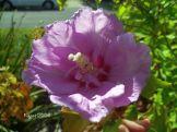 Hibiscus syriacus - Rose of Sharon