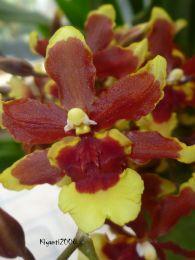 Oncidium 'Dancing Lady' Orchid