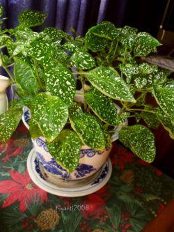 Polka Dot Plant - Hypoestes phyllostachya,