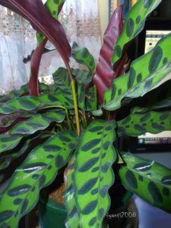 Rattlesnake Plant - Calathea lancofolia 2