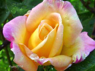 Rose 'Peace' - So pretty