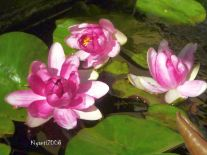 Water Lily - Pinkish Red