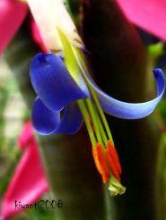 Billbergia - Open Flower
