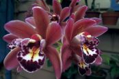 Cymbidium - Artistic Impression 'Snowdrop' x Ruby Eyes 'Red Baron' - small