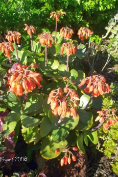 Cotyledon orbiculata - Orange Bell Flowers