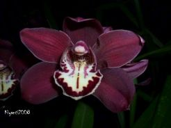 Cymbidium ' Claude Pepper' x 'Sensation' - Taken at night
