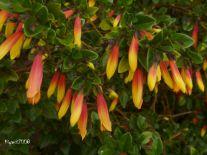 Jacobinia pauciflora -Justicia rizzinii - Copy