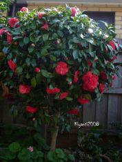 Camellia japonica - Red Standard