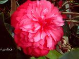 Camellia japonica Spetember 06 - 2016