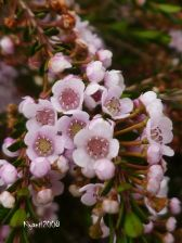 thryptomene-flowers