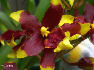 oncidium-dancing-lady-oct-2016