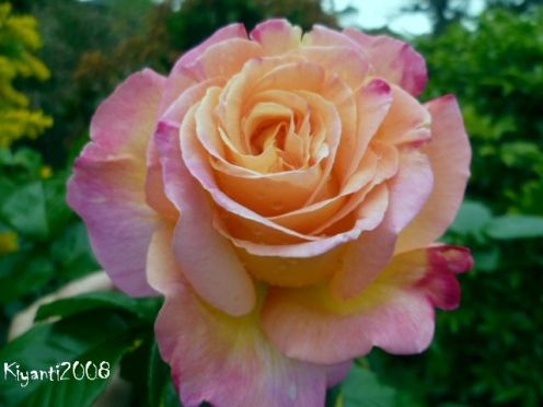 peace-rose-first-bloom-early-spring-2016