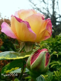 peace-rose-first-blooms-october-2016