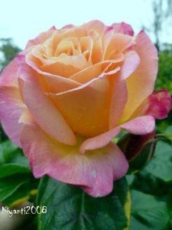 peace-rose-october-2016