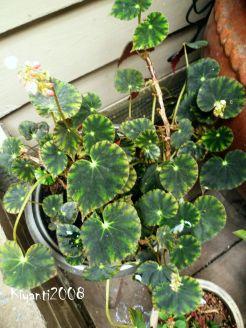begonia-bowerae-pretty-leaves
