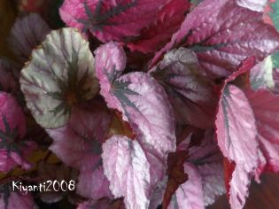 begonia-rex-blazing-colours