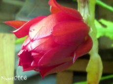 disocactus-ackermannii-pretty-bud