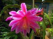 epiphyllum-great-waltz-november-10-2016