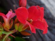 kalanchoe-blossfeldiana-red