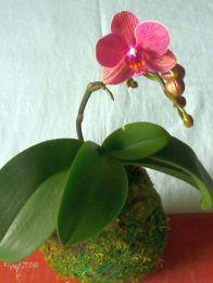 phalaenopsis-kokedama-small-pink-flowers