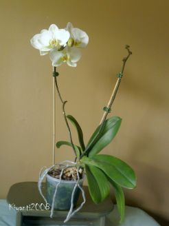 phalaenopsis-very-large-white-flowers