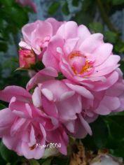 rose-pink-flower-carpet-2016