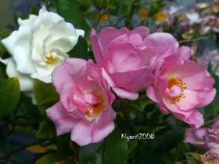 rose-pink-flower-carpet-and-a-gardenia