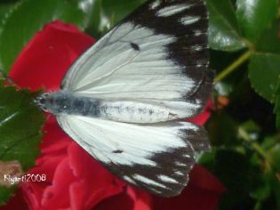 rose-red-flower-carpet and a Caper White Butterfly (Belenois Java)