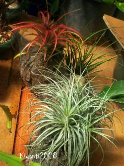 air-plants-tillandsia-feb-2017