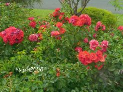 rose-flower-carpet-feb-2017