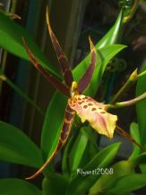 Orchid - Miltassia Shelob 'Tolkien' - Name derived from movie The Lord of The Ring