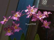 Orchid - Zelglossoda Calico Gem 'Green Valley'