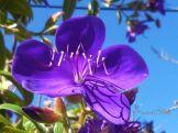Tibouchina 'Jules' - Purple blooms