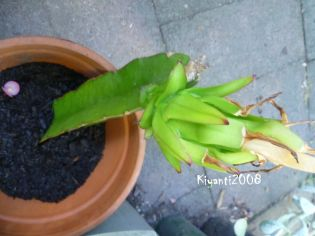 Dragon fruit disaster - broken stem