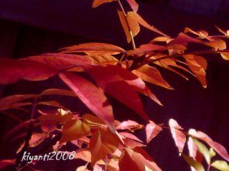 Chinese Pistachio - Pistacia chinensis