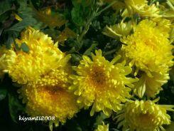 Chrysanthemum double yellow 2017