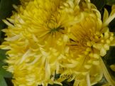 Chrysanthemum double yellow