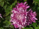 Chrysanthemum mauve May 11 - 2017