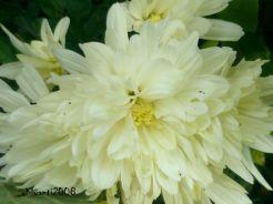 Chrysanthemum white 2017