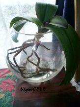 Phalaenopsis Semi Water Culture 1 July 18-2017