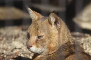 東山動植物園 春まつり ジャングルキャット