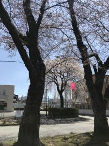 飯田 桜 名所 大宮通り桜並木 03 (3)