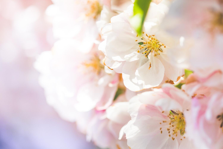 今日のきものは、桜の季節によく着るお召