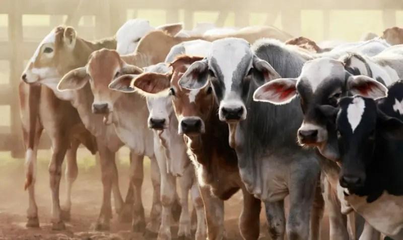 गाय का व्यवसाय
