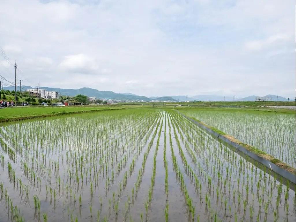 चावल की बुवाई