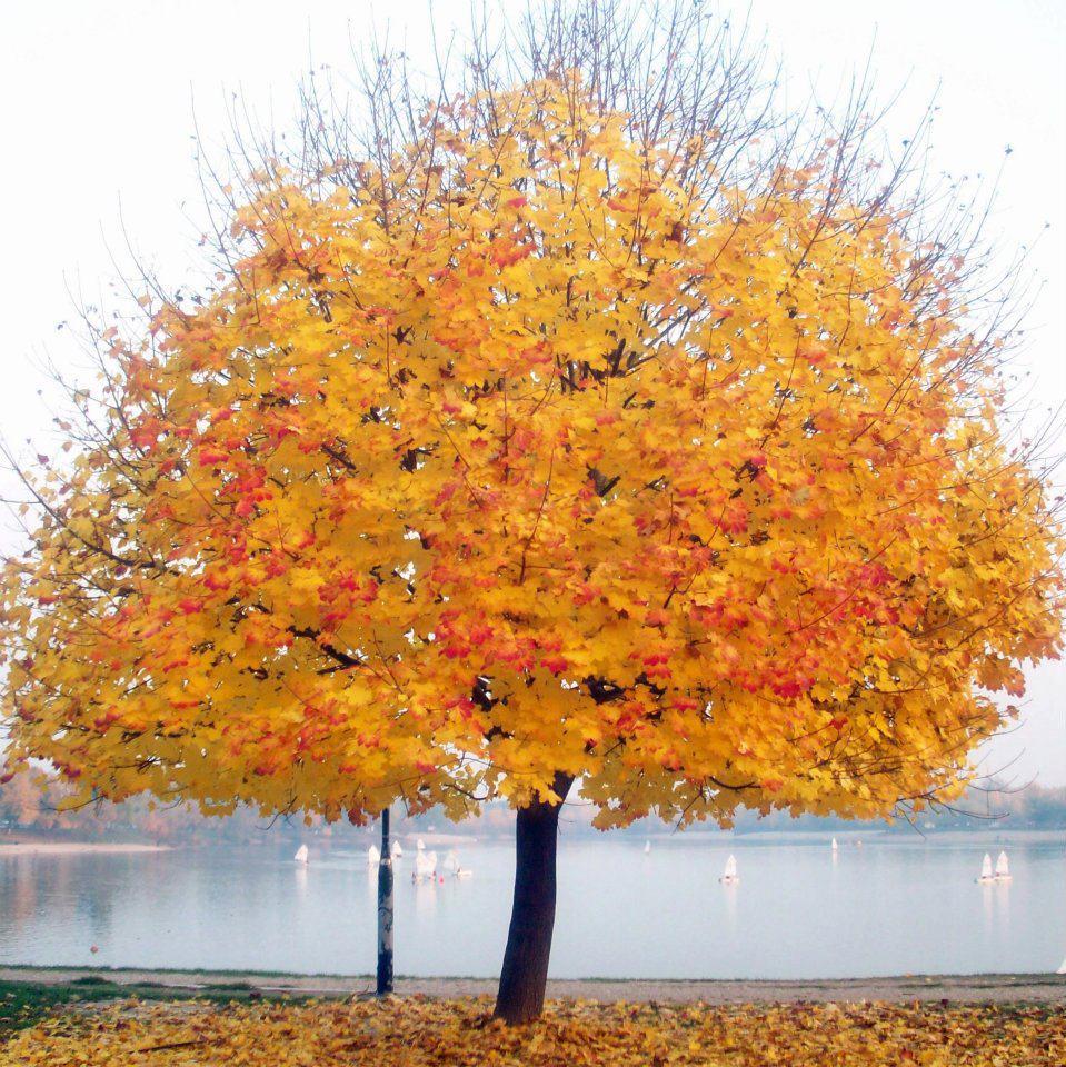 Klupsko drvo jesen