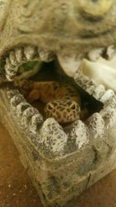 Leopard Gecko Zeke