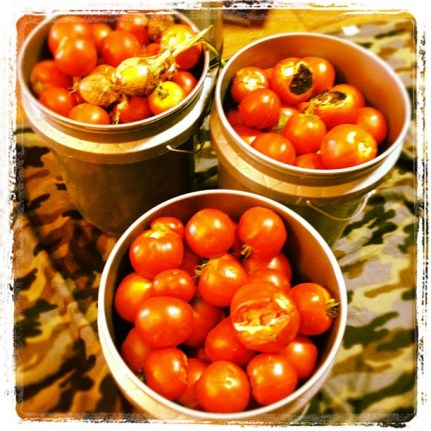 Buckets of tomatoes