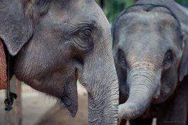 Die ehem. Arbeitselefanten