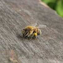 768px-ligustica_italian_bee_with_pollen